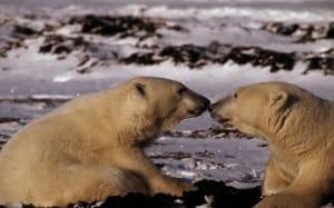 Polar bear (Ursus maritimus); Canada