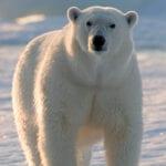 Help Arctic Home Protect the Polar Bears #HelpthePolarBears