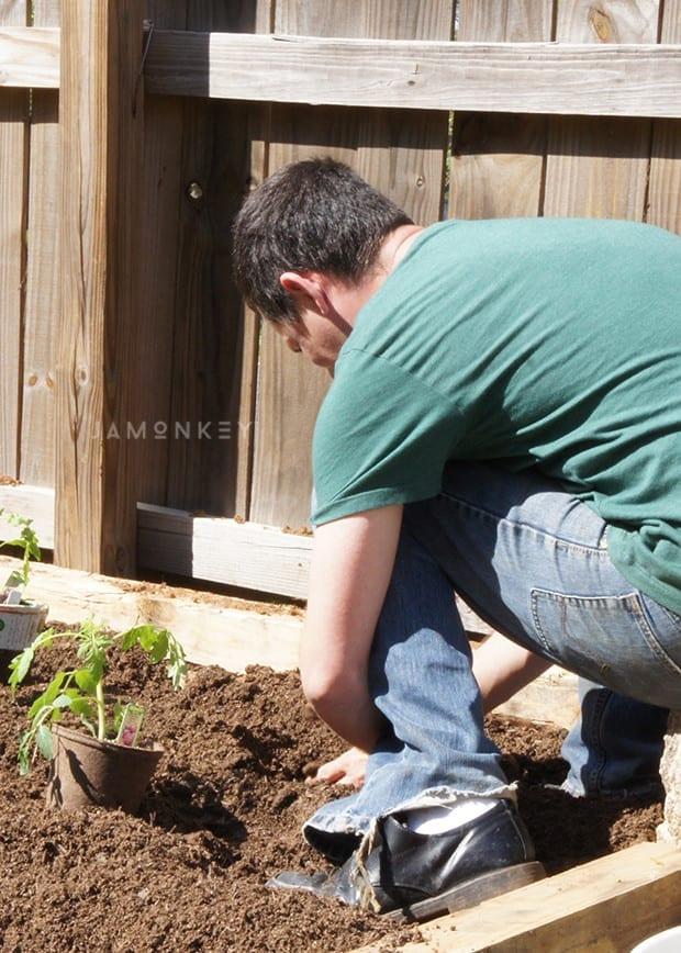 Growing Cherokee Purple Tomatoes